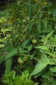 Unfried Green Tomatoes